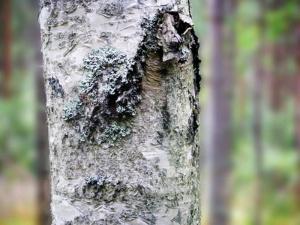 Puiden kasvunopeutta voisi lisätä ainakin 20% - koivusta voisi saada ruokatehtaan (800 x 600)